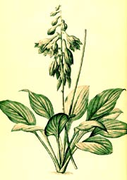 Blue Hosta Illustration