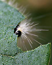 Caterpillar eating leaf