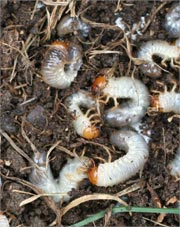 White grubs in the lawn.