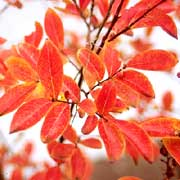 Crape Myrtle Fall Foliage