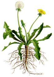 Dandelion: common lawn weed found in many parts of the country