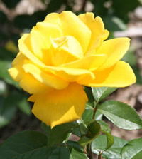 Rose: Radiant Perfume, Hybrid Tea Rose