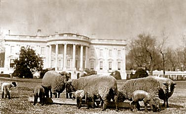 Sheep on the Whitehouse Lawn