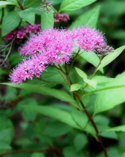 Spirea Bloom
